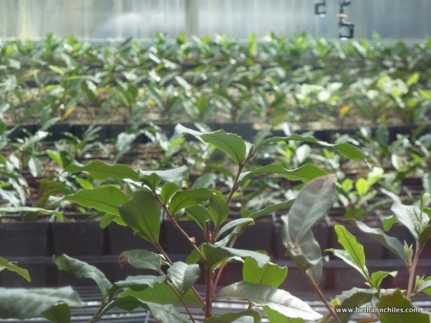 tea plants growing in the greenhouse