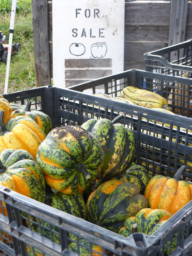 More pumpkins and gourds for sale at Koenig's Acres
